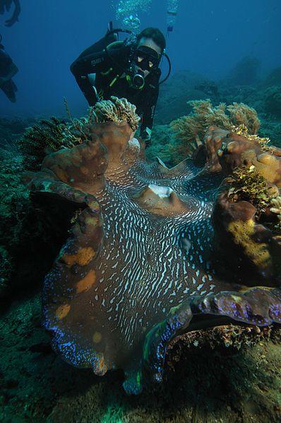 giant_clam_tridacna_gigas_1